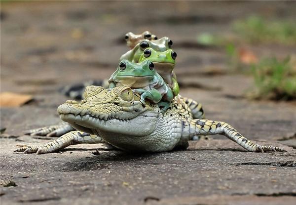 Cá sấu vẫn không tỏ ra giận dữ mà trái lại rất thoải mái cho bầy ếch cưỡi lên lưng để cùngbơi qua dòng sông. (Ảnh:Daily Mail)