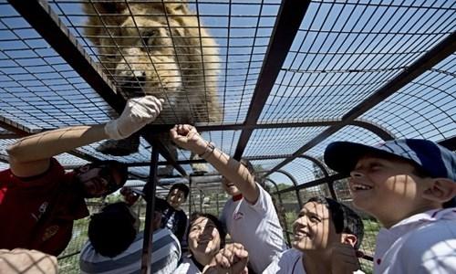 Khi tới đây,khách tham quan sẽ đượcngồi bên trong chiếc lồng sắt đặt sau xe tải vàchạy qua chuồng nuôi 6 con sưtử rộng hơn 20.000m2, để ngắm nghía và trêu đùa những chú sư tử đáng yêu này.
