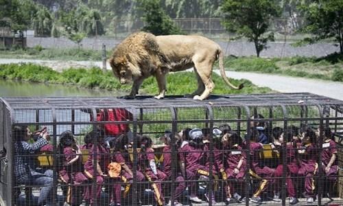 Vườn thúParque Safari cho phép những khách tham quancó thể thò ngón tay qua chấn song để đùa nghịch vớibầy sư tử phía trên.