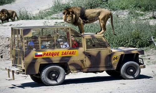 Khách tham quan chứng kiến cảnh những con sư tử tự dođứng ởđầu xe.