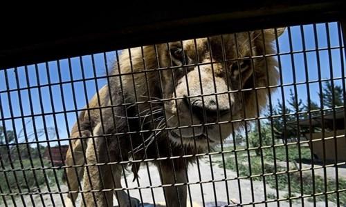 Cận cảnh khuôn mặt củamột con sư tử đựcghé sát mặt vào chấn song của lồng sắt một cáchđầy tò mò với đám người ngồi trong.