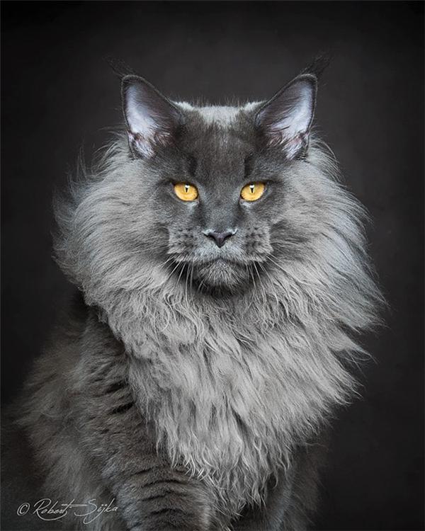 Vẻ mặt sang chảnh như một siêu saocủachú mèo mang tênMaine Coon.