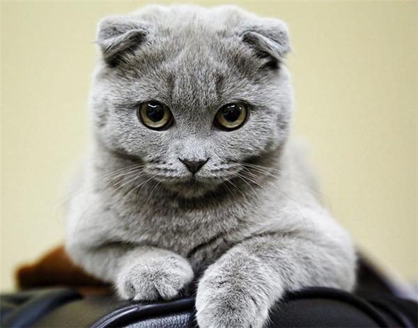 Đôi tai cụp tỏ và bộ lông quyến rũ đã giúpchú mèo này rất tự tin với sắc đẹp của mình.