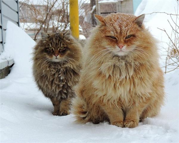 Một vẻ đẹp hoàng gia đến dáng đứng và bộ lông xù của hai em mèoSiberian.