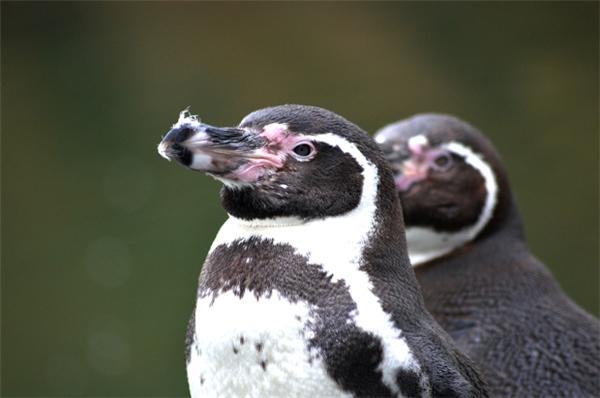 Cặp đôi chim cánh cụt đồng tính dễ thương.