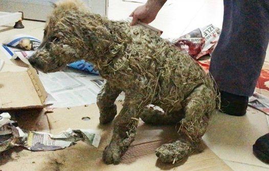 Chú chó đáng thương bị trét đầy keo rồi nhúng xuống bùn để mua vui