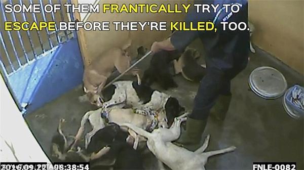 Chính quyền Mauritius đã đi ngược lại với lời tuyên bố về quản lí sinh sản ở chó hoang trước đó. (Ảnh cắt từ clip)