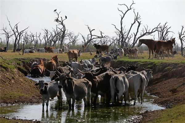 Hiện tượng hạn hán bất thường từ hồi tháng Sáu năm nay khiến các loài động vật không còn chốn dung thân.