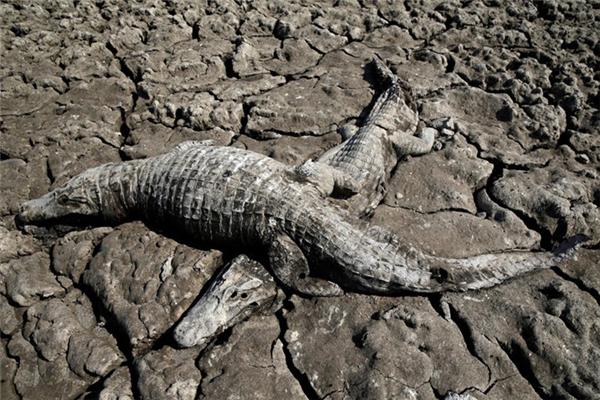 Những con cá sấu Caimankhô quắt trên mảnh đất cằn cỗi.