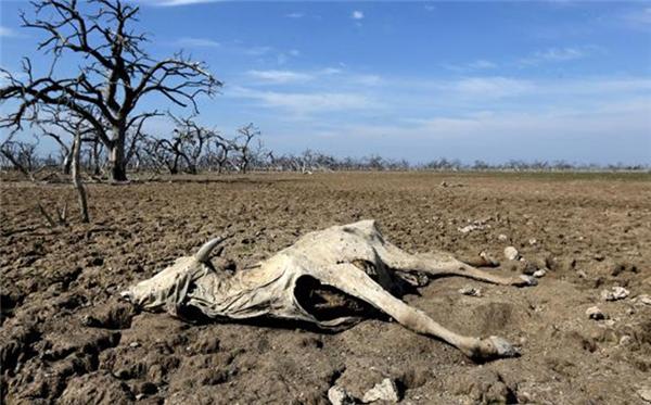 Hàng loạt con vật chết khát bên bờ sông.