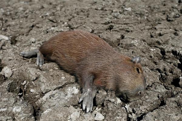 Con chuột lang nước đáng thương đã chết vìkhát.