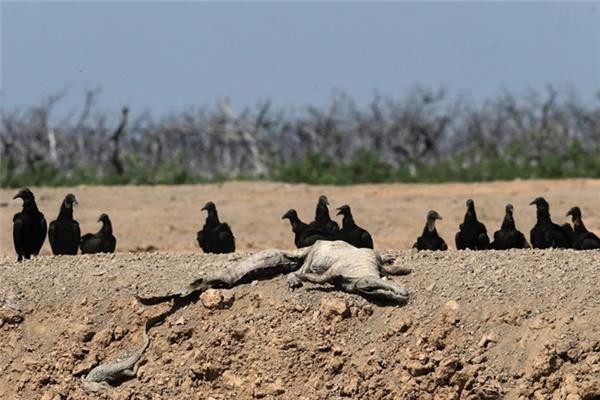 Đámkền kền chờ đợi ăn xác những con vật đáng thương đang chết dần chết mòn.