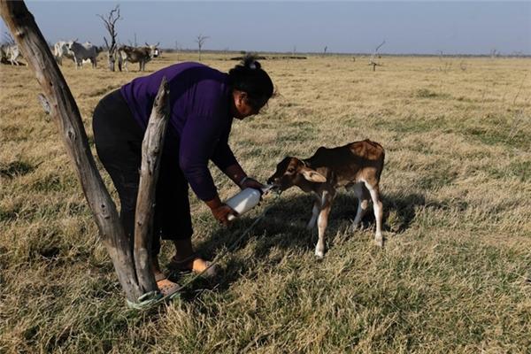 Người dân đang phải dùngnước mặn để cho các loại gia súc uống.