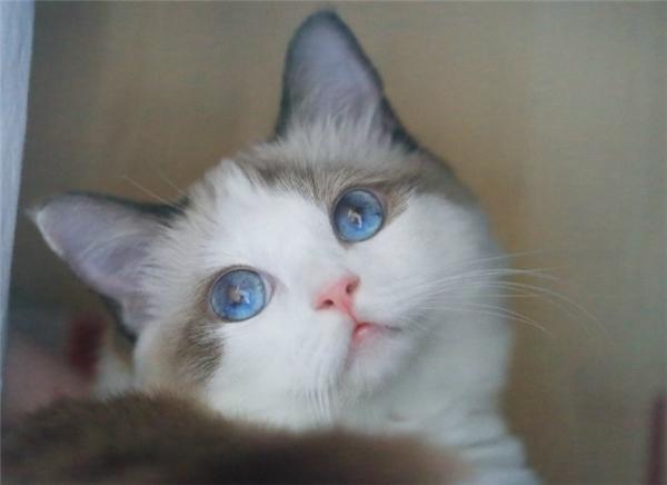 Ghost là một chàng mèo xinh đẹp nổi tiếng khắp mạng xã hội Trung Quốc.