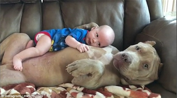 Ấm lòng với đoạn clip bà bảo mẫu bulldog ân cần trông em thay mẹ