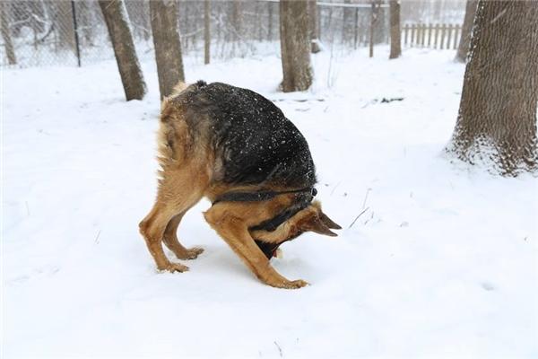 Chú chó này mắc một chứng bệnh có tên Hội chứng Cột sống ngắn, khiến cho cơ thể bị co rút nghiêm trọng, thoạt nhìn giống như đang bị gù.