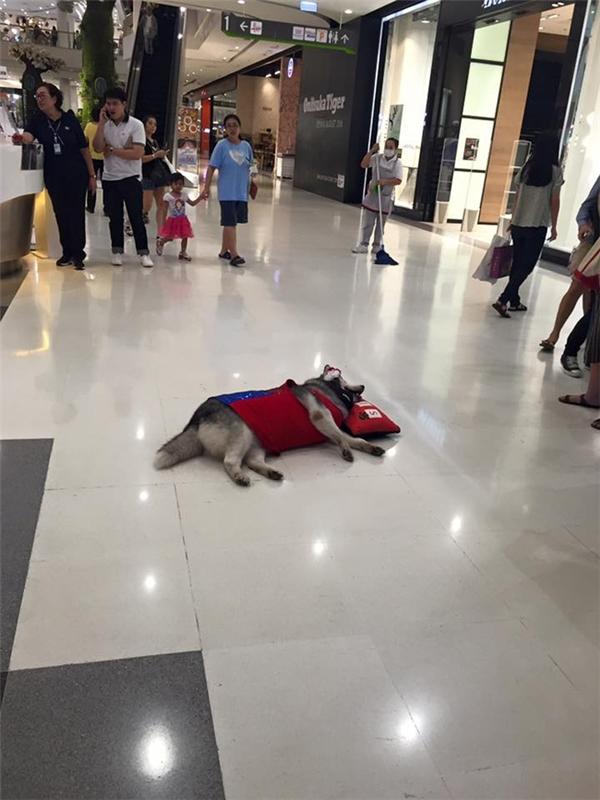 Đã hói lại còn chân ngắn, đây là chú chó đang khuấy đảo thế giới ảo