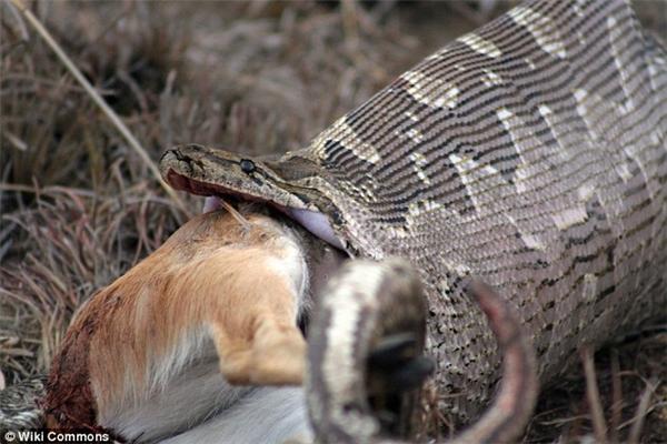 Dựa vào kích thước, chiều dài nhiều người duy đoán đây có thể là loại trăn khổng lồ Anaconda hoặc trăn đá Châu Phi.