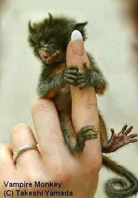 Ma cà rồng khỉtuy có kích cỡ nhỏ nhưng lại có diện mạo rất kì quái.