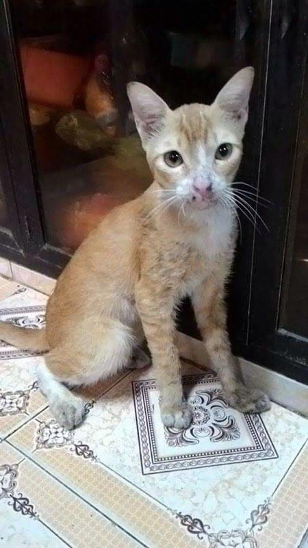Chú mèo Mi trong quá trình bình phục
