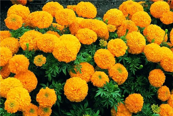 Cúc vạn thọcòn là khắc tinh của nhiều loại côn trùng có hại khác.