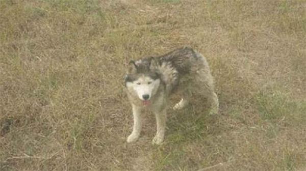 Phẫn nộ chú chó husky bị nhốt trong chuồng sói và bị cắn tơi tả