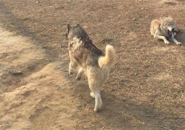 Không biết có chuyện gì xảy ra nhưng chú chó đã bị bầy sói cắn đến thương tích.