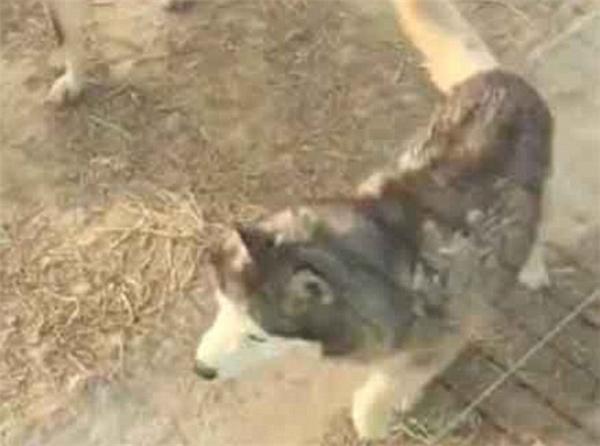 Vườn thú nói trên cho biết họ nhốt husky chung với sói chỉ để tăng tính giải trí cho khách tham quan.