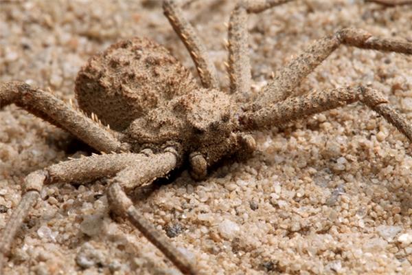 Rất khó để nhìn thấy loài nhện này khi chúng có tài ngụy trang cực giỏi.