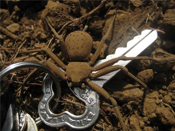 So sánh kích thước của nhện Cát sáu mắt với chiếc chìa khóa.