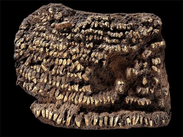 Chiếc ví đượclàm từ da hoặc vải và được bao phủ trong hơn một trăm chiếc răng chó khác nhau.