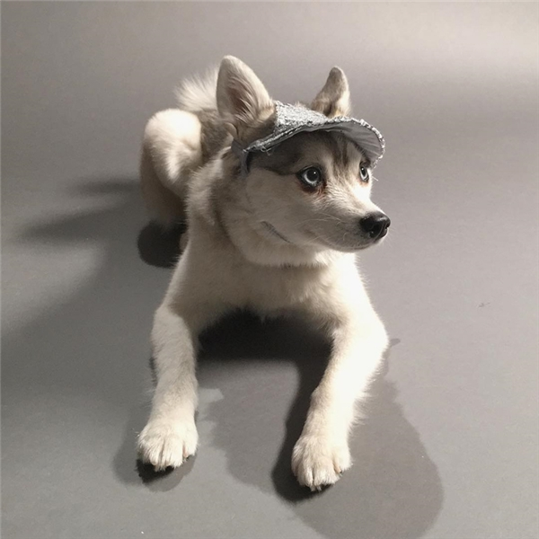 Luna thuộc giống Alaskan Klee Kai, một giống chó nhỏ con lai tạo từ giống Siberian Husky.