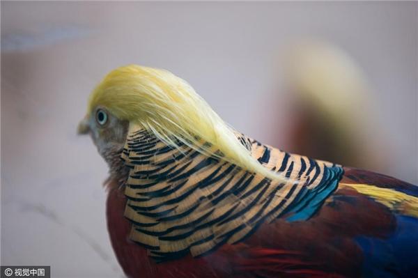 """Cận cảnh """"mái tóc"""" của chú chim trĩ đỏ được pháthiệntại Trung Quốc."""