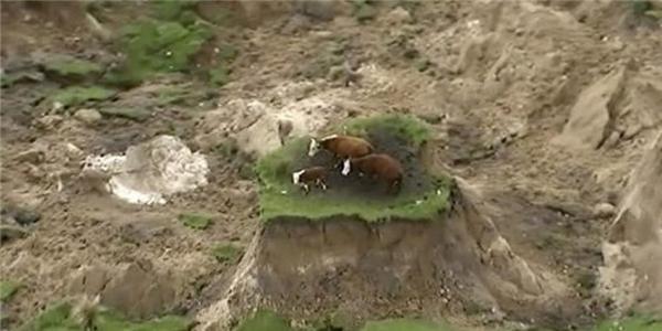 Ba con bò và những gì còn sót lại sau vụ động đất tại New Zealand.