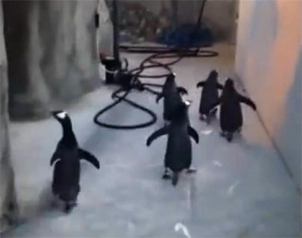 Các chú chim cánh cụt tại sở thú Odense, Đan Mạch đã cùng nhau lập mưu tìm kiếm cơ hội đào tẩu.