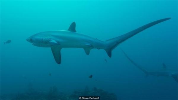 """Những năm gần đây, """"du lịch cá mập"""" đã trở thành điểm sáng hút khách du lịch cho Malapascua."""