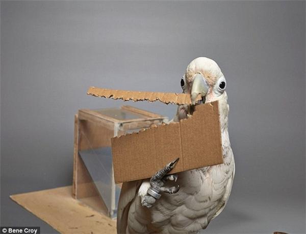 """Chú vẹt biết tự tạo ra công cụ để """"khều"""" thức ăn ngoài lồng."""