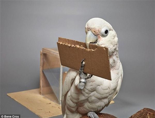 Đây là hành động chứng minh trí thông minh của loài vẹt mào.