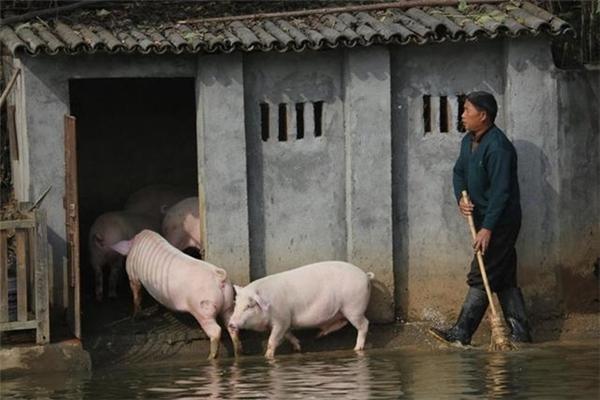 Phương pháp này giúp lợn nhà anh có chất lượng cao hơn lợn bình thường.