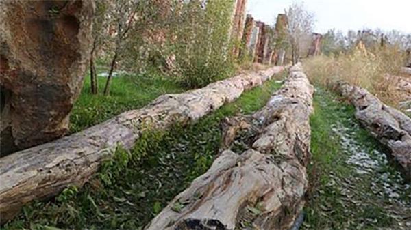 Cây hóa thạch dài 56m vừa được phát hiện tại Vườn Quốc gia Tân Cương cổ đại.