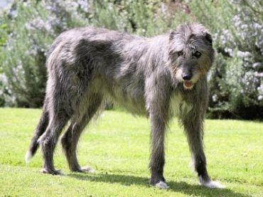 Chó Irish Wolfhound có chiều cao tới gần 1m.