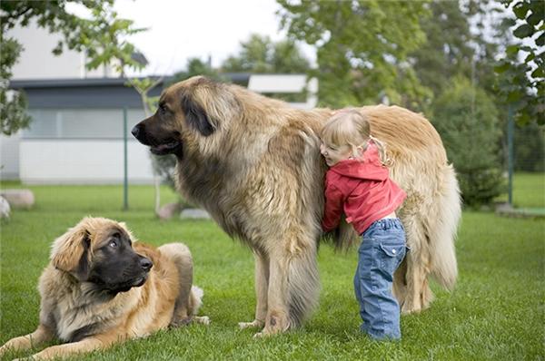 10 loài chó khổng lồ và hung hãn nhất thế giới