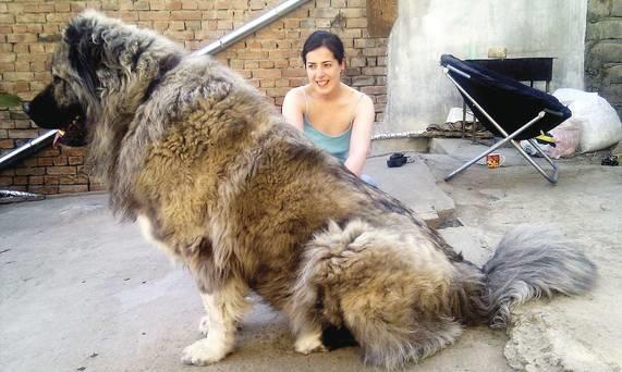 Chó Kavkaz được nuôi để săn cừu.