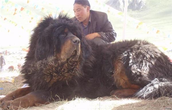 """Không bàn cãi gì nhiều về kích thước 'khủng"""" vàkhoản hung dữ của chó Ngao Tây Tạng."""