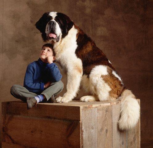 Chó St. Bernard là một giống chó rất lớn từ Italy và Thụy Sĩ, ban đầu được nuôi với mục đích cứu hộ.