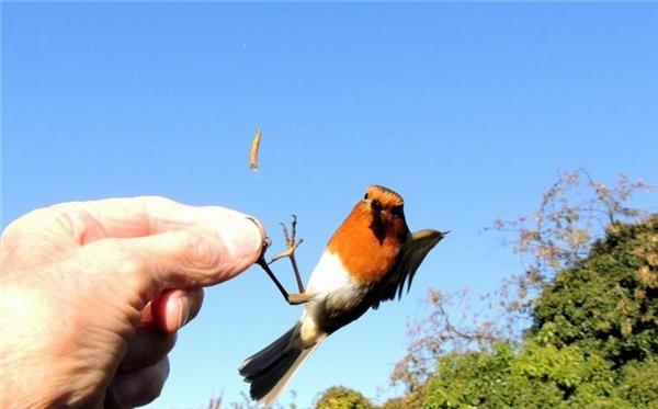 Những chú chim thường khá rụt rè khi được cho ăn bằng tay.