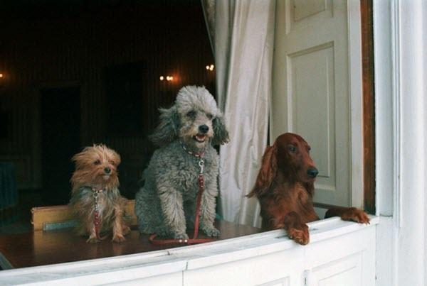 Ba chú cún cưng của tổng thống Richard Nixon bao gồm King Timahoe, Vicky và Pasha nhìn ra ngoài từ một bục cửa sổ trong Nhà Trắng.