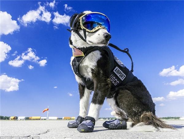 """Chú chó cực """"chất"""" trong trang phục bảo hộ lao động của mình. (Ảnh: Internet)"""