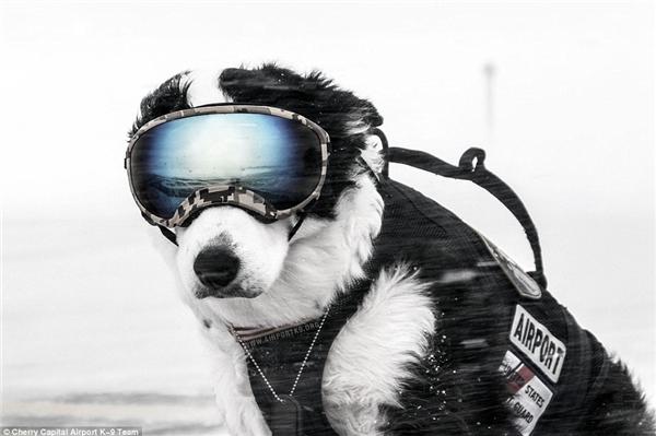 K9 Piperlàm nhiệm vụ giữa lúc mùa đông giá rét tuyết rơi. (Ảnh: Internet)