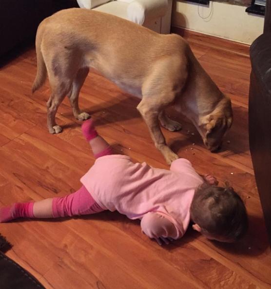 Bắt chước chó lượm đồ ăn bằng miệng ngay trên sàn.